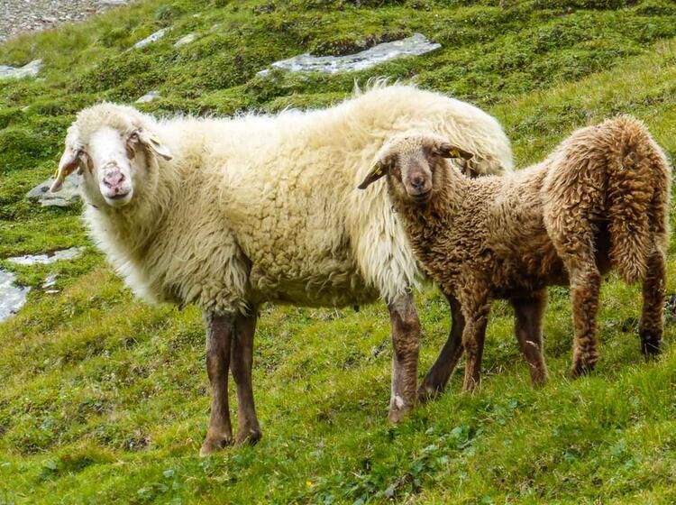 Schafe Auf Dem E5